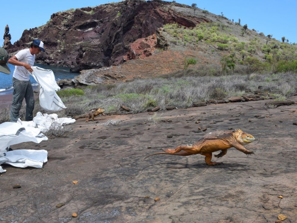 A Galapagos land iguana being released onto Santiago island. It is running away from the scientists in the left side of the picture, who are releasing other iguanas © Luis Ortiz-Catedral