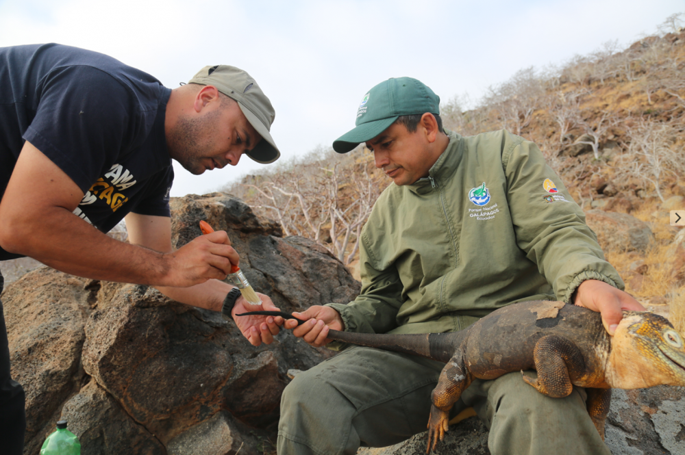 Dr Luis Ortiz-Catedral is holding a brush near the tail of the land iguana, while it rests on the knee of a Galapagos National Park ranger. They are monitoring the body condition and health of the land iguana on Santiago © Luis Ortiz-Catedral